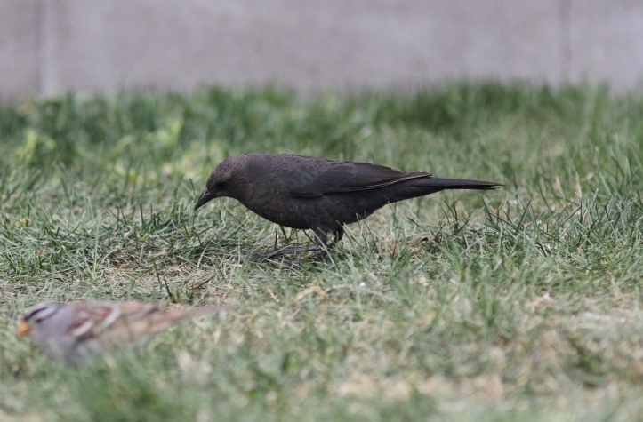 Brewer's Blackbird khgkh3z