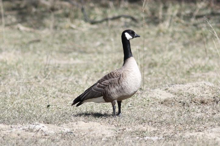 Cackling Goose 2