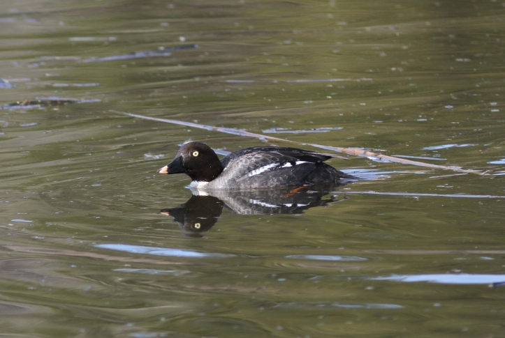 Common Goldeneye j6