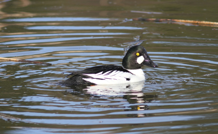 Common Goldeneye j9