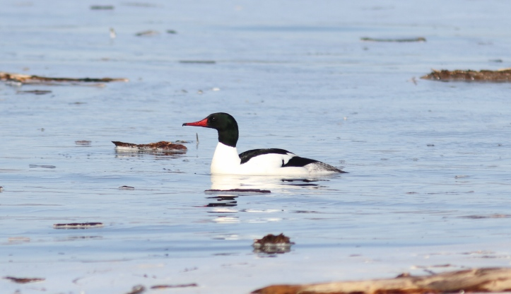 Common Merganser g6 (1)