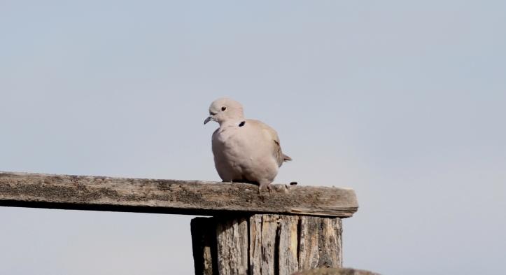 Eurasian Collared Dove 0