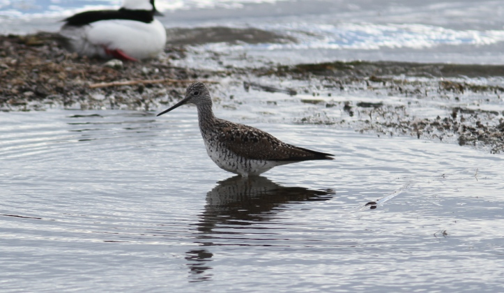 Greater Yellowlegs 87gk3