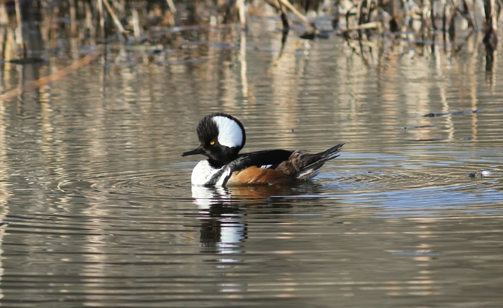 Hooded Merganser 90nh3