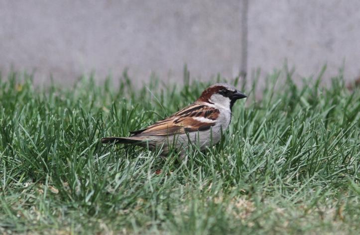 House Sparrow jhkl2