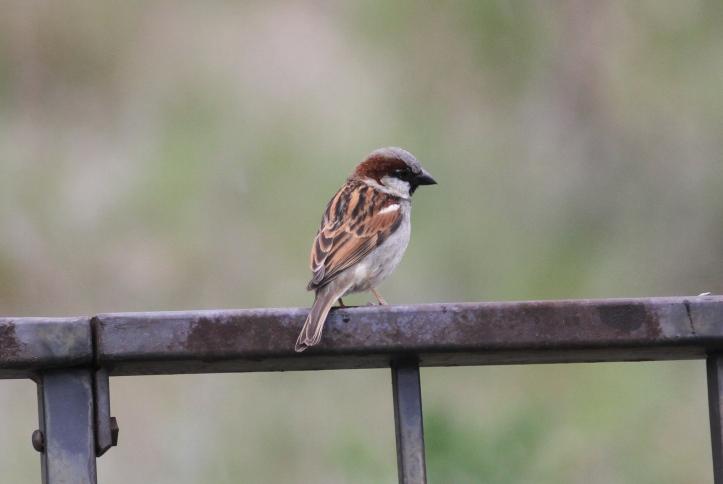 House Sparrow khgk2