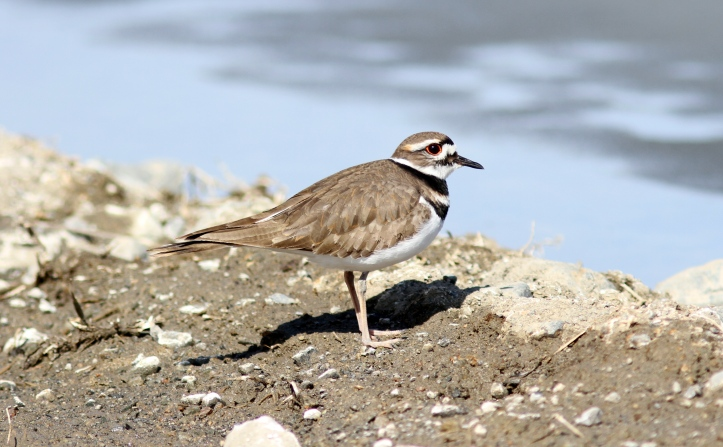 Killdeer 9b4m2