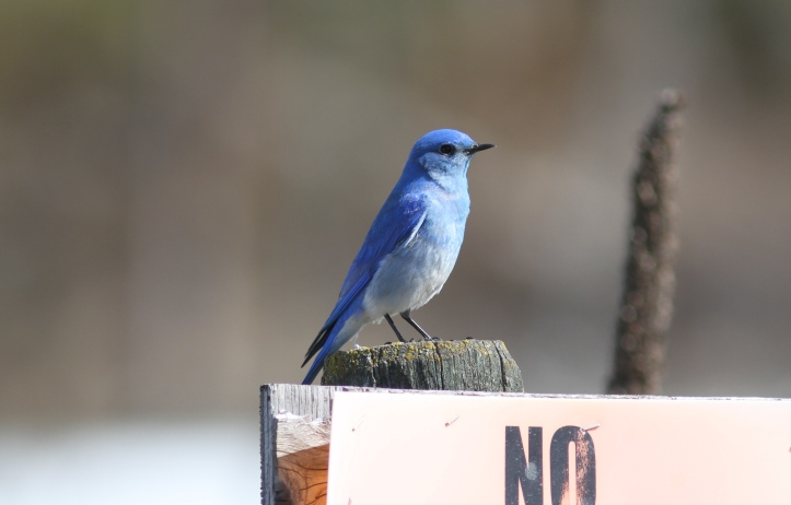Mountain Bluebird 9j2b3