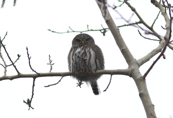 Northern Pygmy Owl g