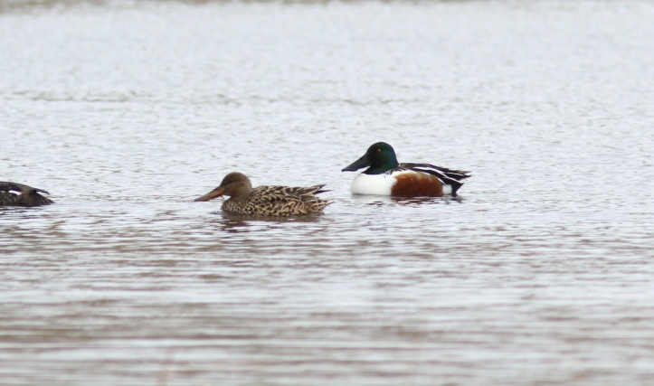 Northern Shoveler 1mj