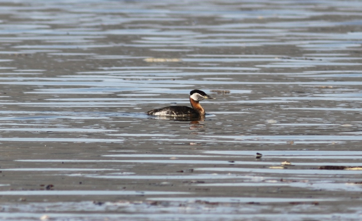 Red-necked Grebe lkjhl3
