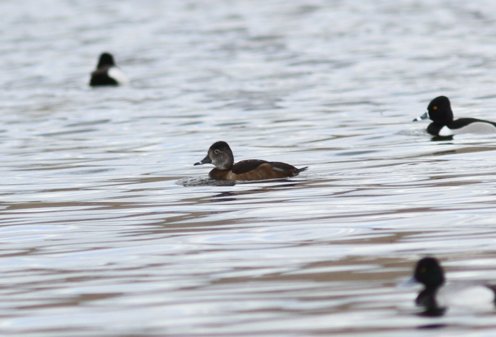 Ring-necked Duck 879hkjg2