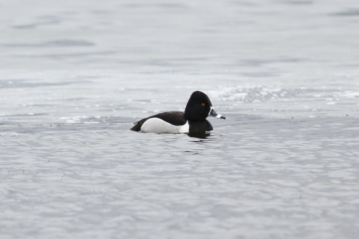 Ring-necked Duck 87hgjk2