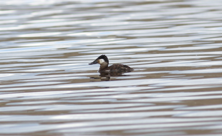 Ruddy Duck 7b2
