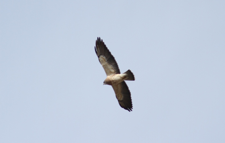 Swainson's Hawk ljhl2