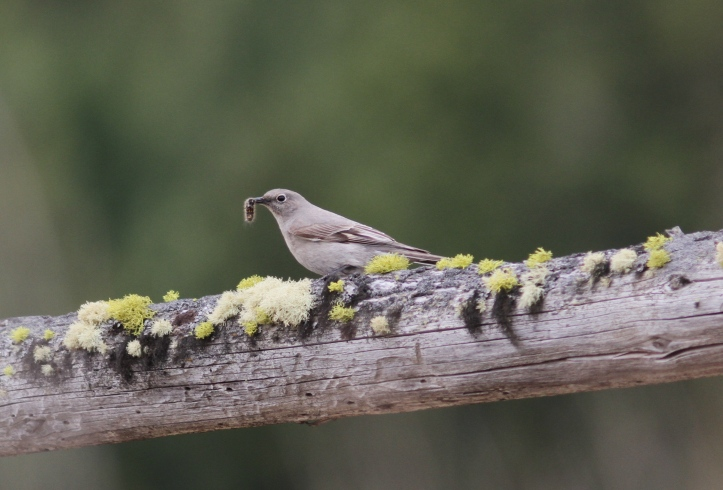 Townsend's Solitaire khkh3