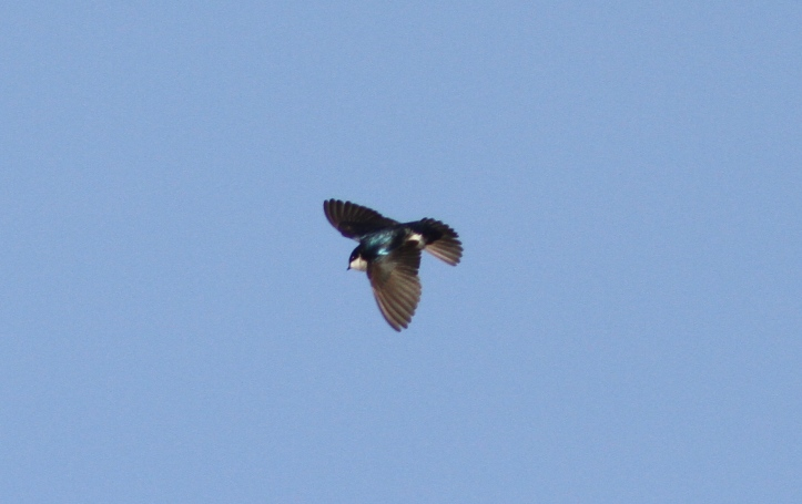 Tree Swallow md