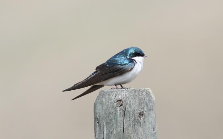 Tree Swallow mds