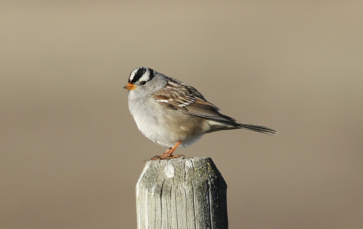 White-crowned Sparrow khgjk2