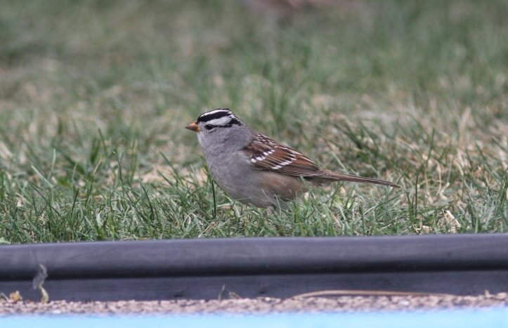 White-crowned Sparrow kjk3