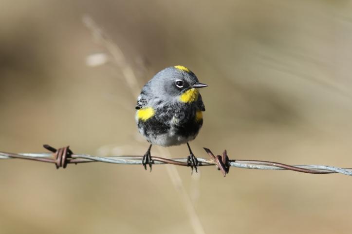 Yellow-rumped Warbler hgkk3g