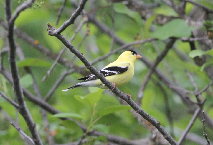 American Goldfinch 78bj3