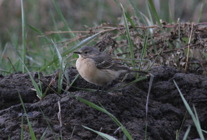 American Pipit hjw