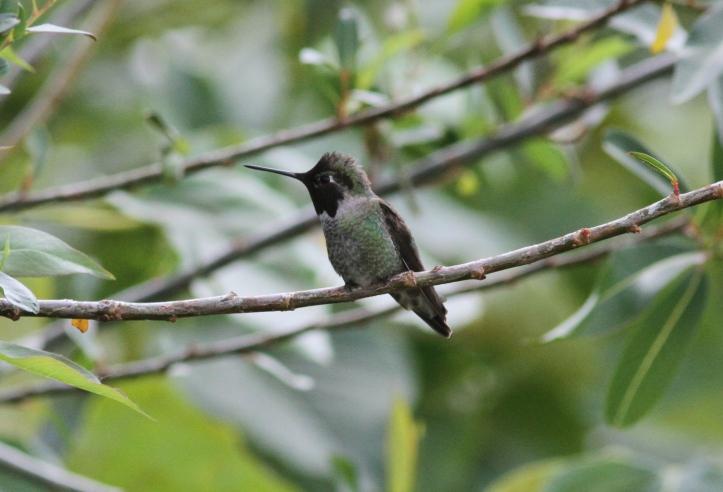 Anna's Hummingbird 78jj2 (1)