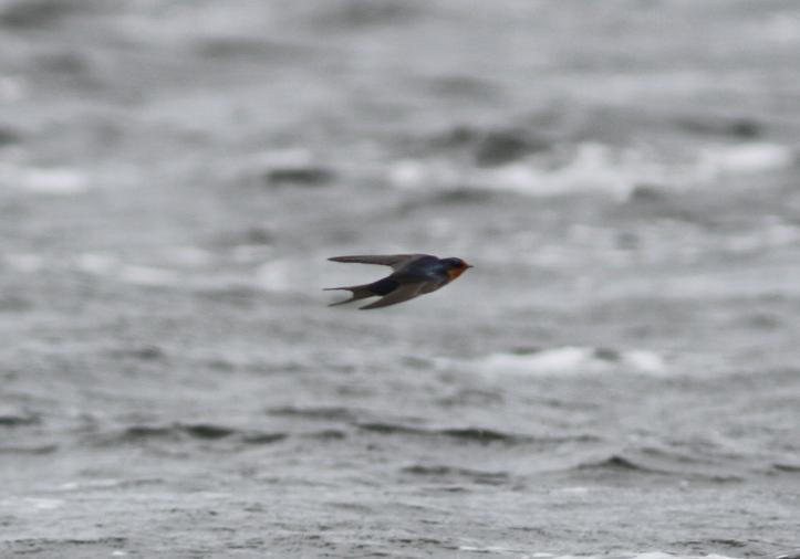 Barn Swallow 870gh3 (1)