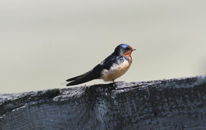 Barn Swallow jkdg