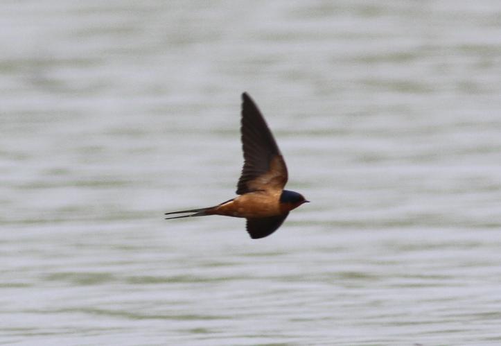 Barn Swallow jkk2