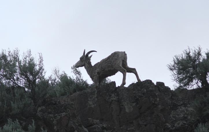 Bighorn Sheep 67ghk3a