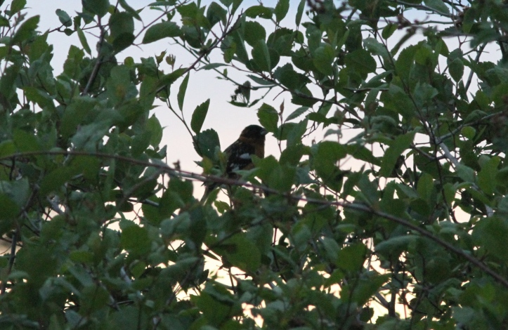 Black-headed Grosbeak 2