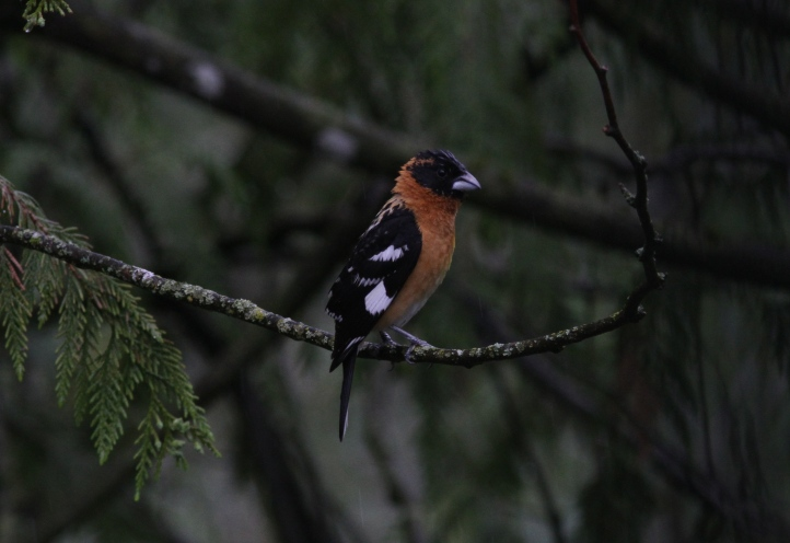 Black-headed Grosbeak ggg