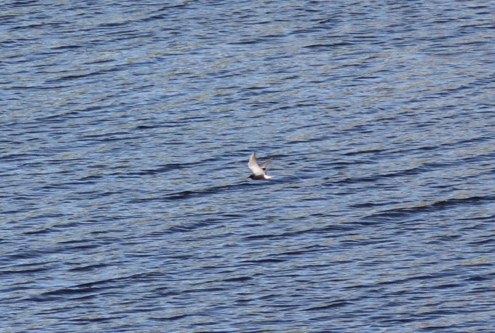 Black tern 2