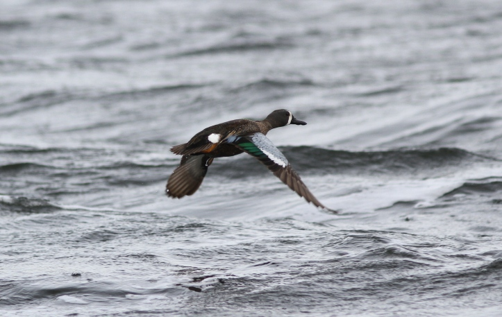Blue-winged Teal jh2g