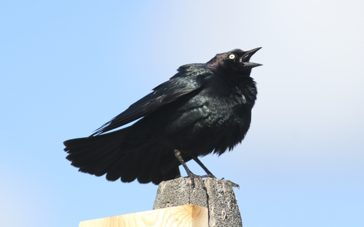 Brewer's Blackbird 78hgj3 (2)g
