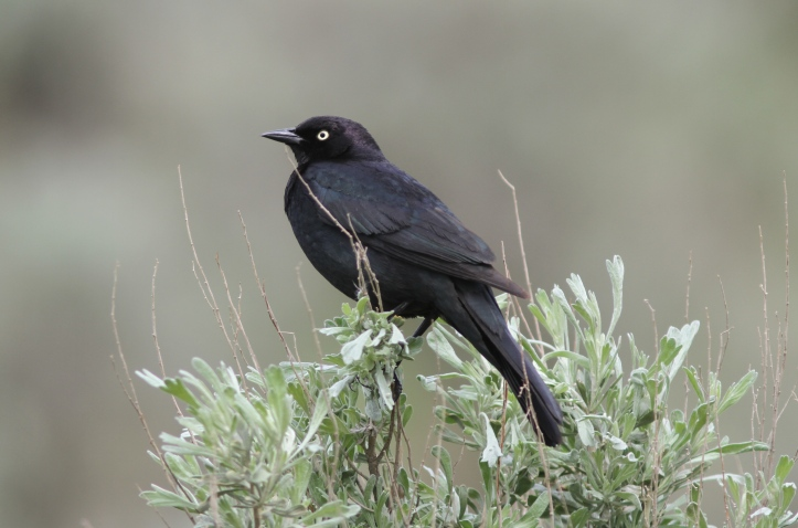 Brewer's Blackbird 78kjkja