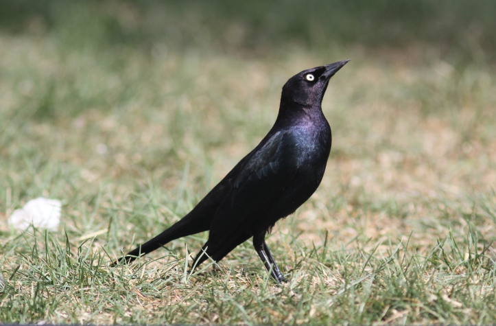 Brewer's Blackbird kghka