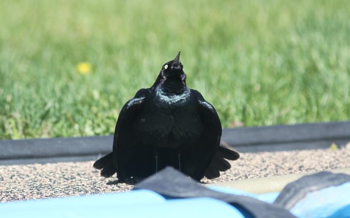 Brewer's Blackbird khggha