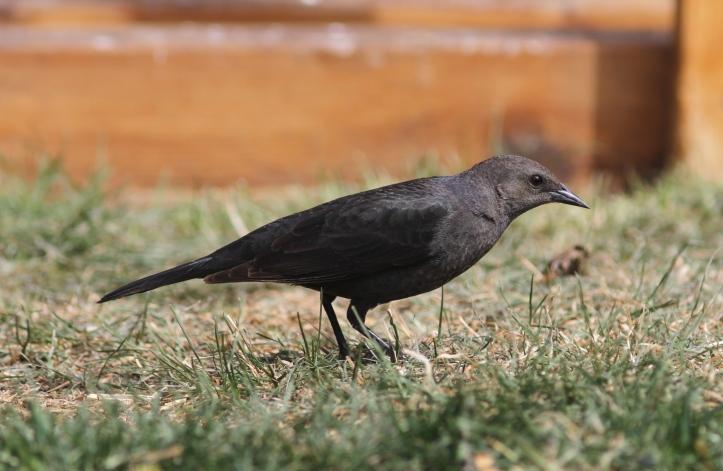 Brewer's Blackbird ljjh3