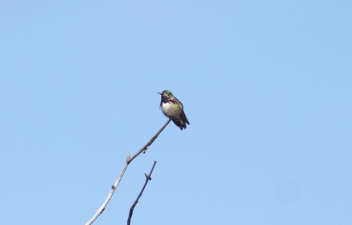 Calliope Hummingbird 7sg