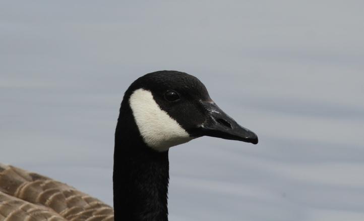 Canada Goose 21 (2)g