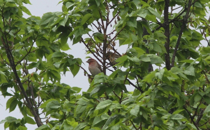 Cassin's Finch 2g