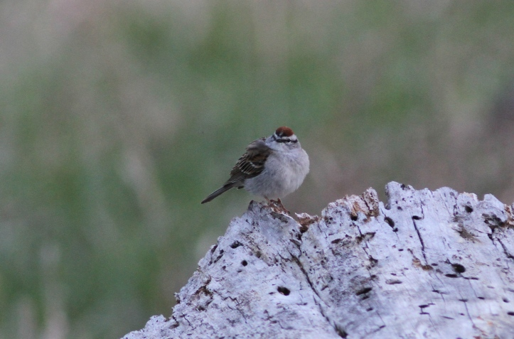 Chipping Sparrow 879hj4