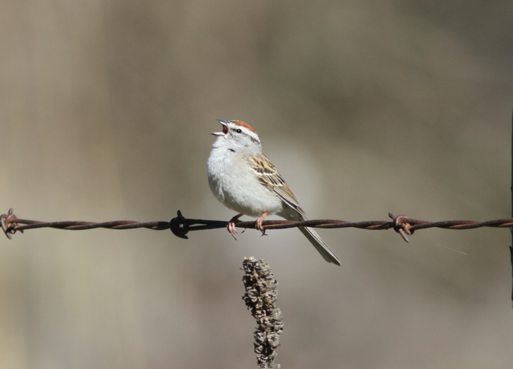 Chipping Sparrow 990n3g