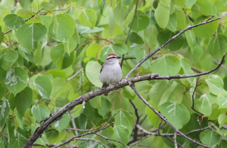 Chipping Sparrow ghkghkj2a