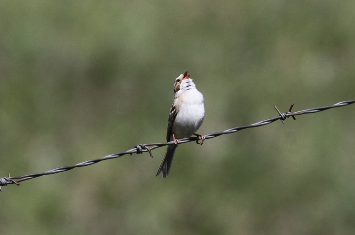 Clay-coloured Sparrow ghgg3
