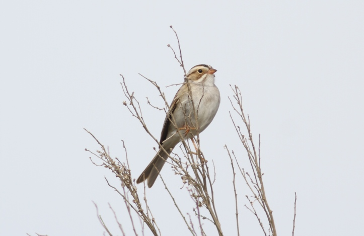Clay-coloured Sparrow ghh2