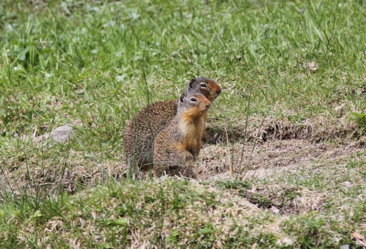 Columbian Ground Squirrel ghjgh2 (3)g